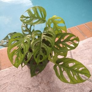"Plant Bazaar Accessories - 8"" Monstera Adansonii plant"